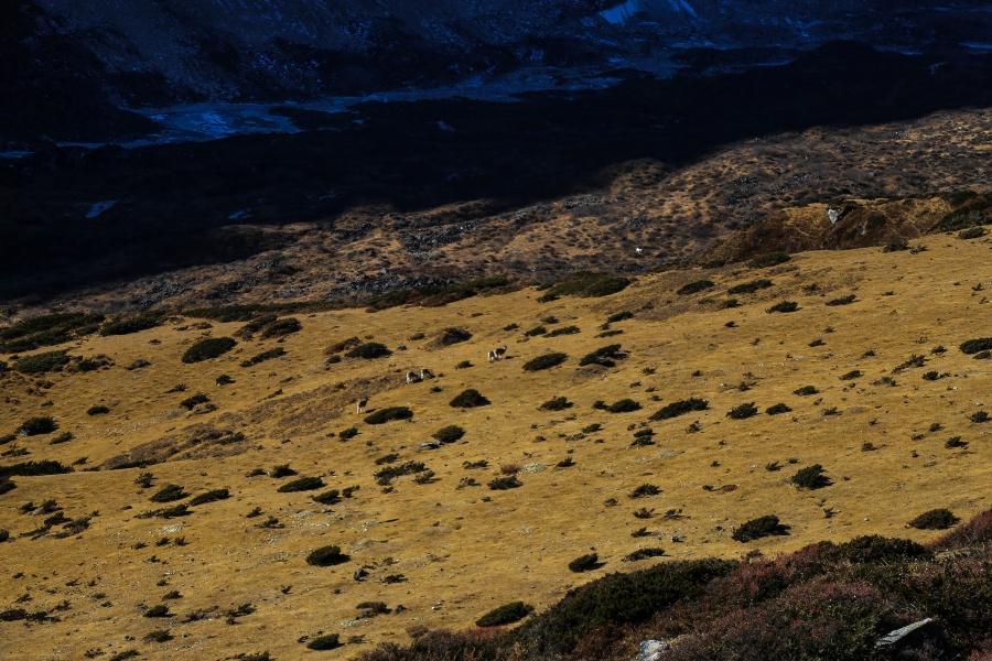 blue sheep on way to dharmashala
