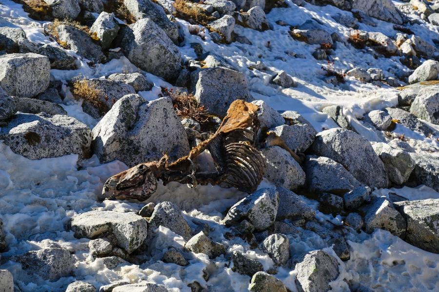 dead yak on larke pass