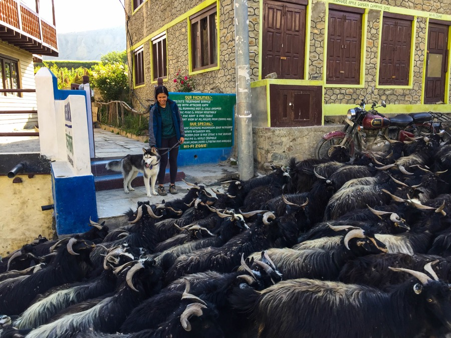 goats in kagbeni village