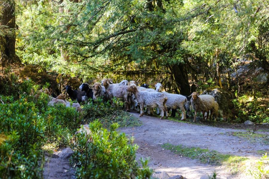 sheep near surki